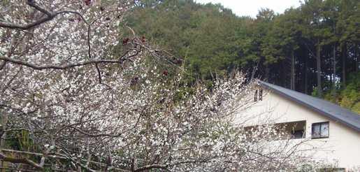 20180305 梅の開花