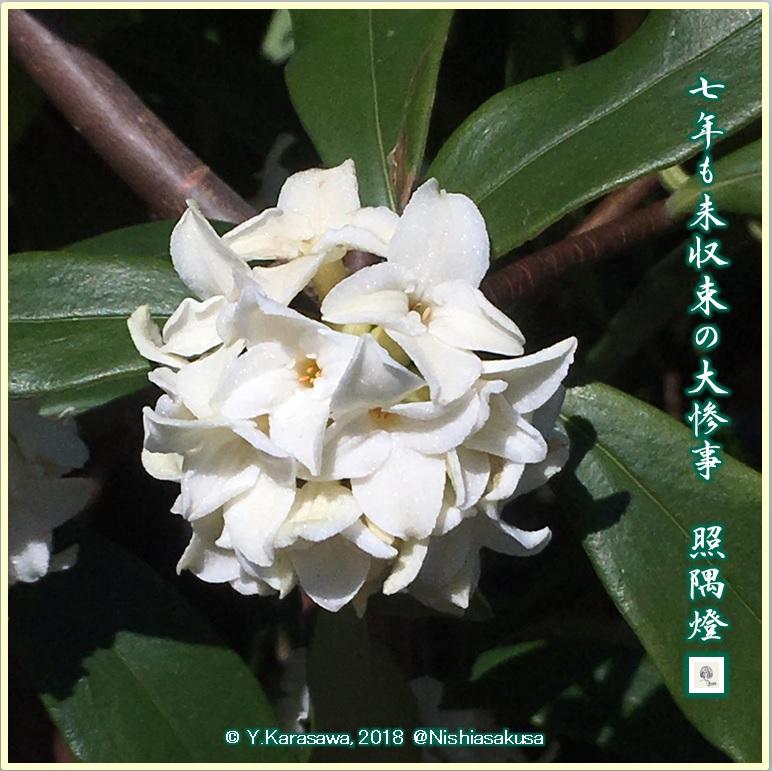 180311白い沈丁花LRG