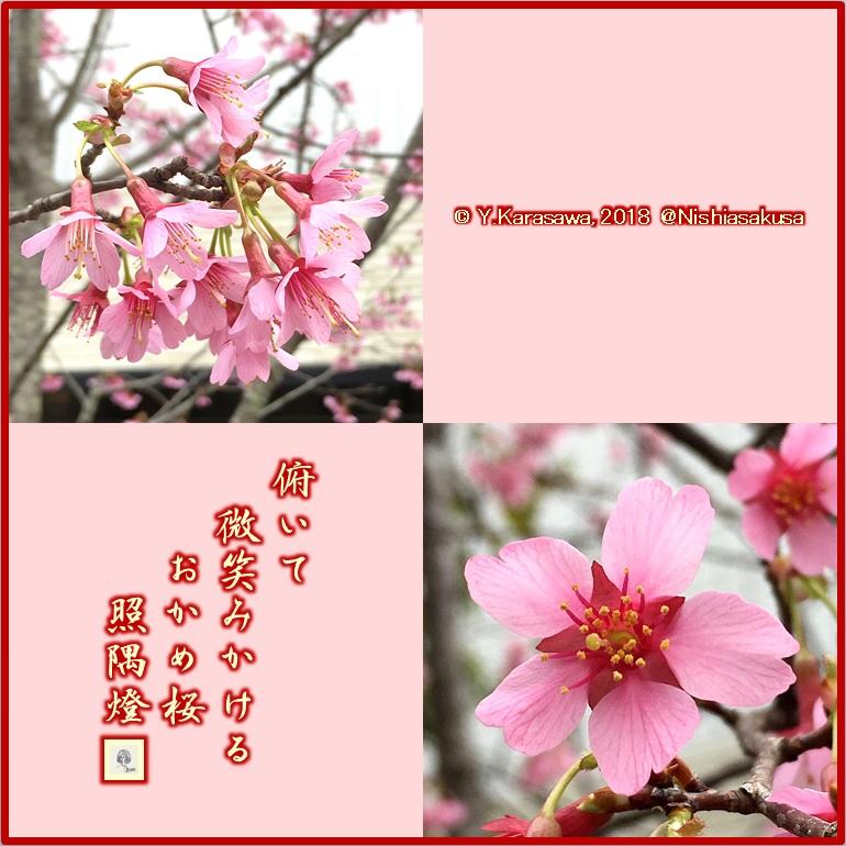 180312おかめ桜LRG