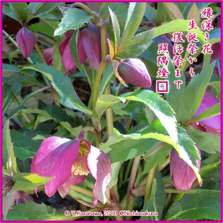 180318クリスマスローズ赤紫SQLRG