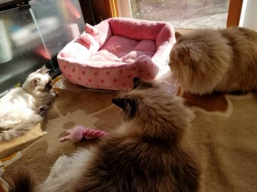 幸運を運ぶバーマン子猫💕オデットちゃん