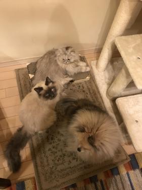幸運を運ぶバーマン子猫💕バーちゃん