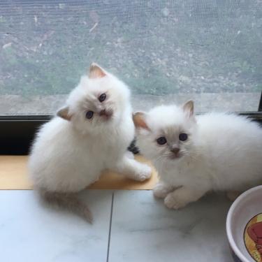 猫の妊活🐱幸運を運ぶバーマン子猫