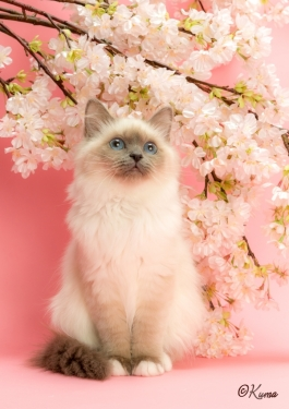 幸運を運ぶバーマン子猫 - オデットちゃん -