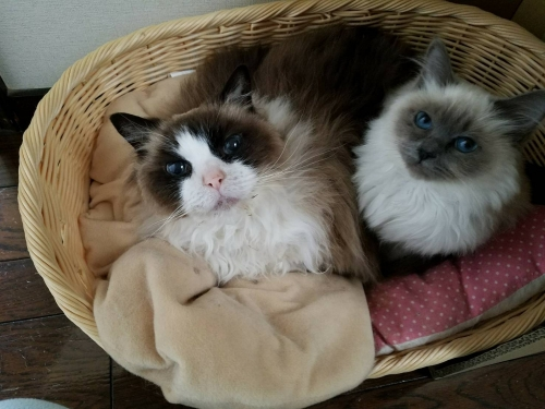 幸運を運ぶバーマン子猫🐱🐾オデットちゃん