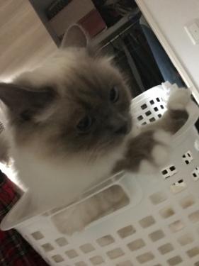 幸運を運ぶバーマン子猫🐱🐾チャズちゃん&ピーシュくん
