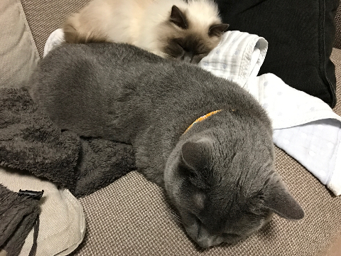 幸運を運ぶバーマン子猫🐱🐾みさきちゃん