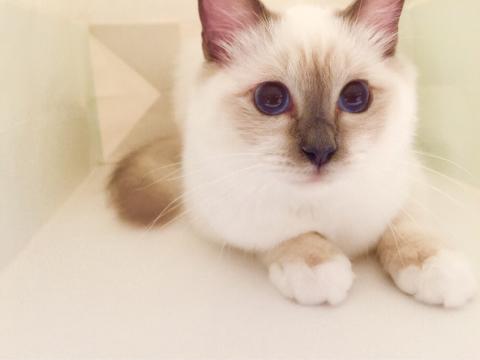 幸運を運ぶバーマン子猫🐱🐾小福ちゃん