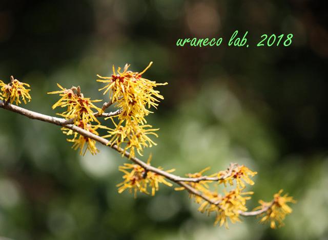 2月24日ハヤサキマンサク2