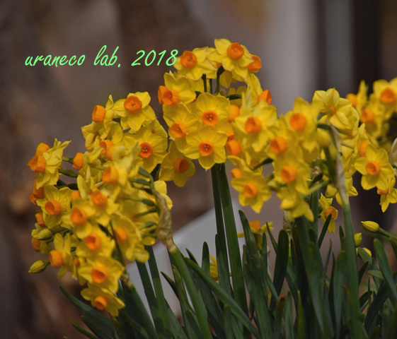 2月27日黄色い水仙