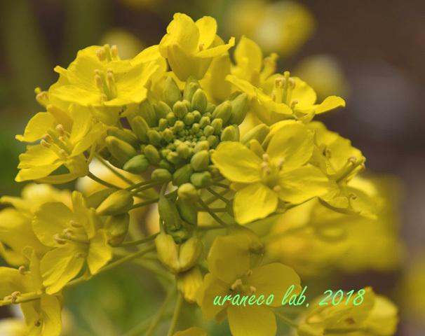 2月27日菜の花3