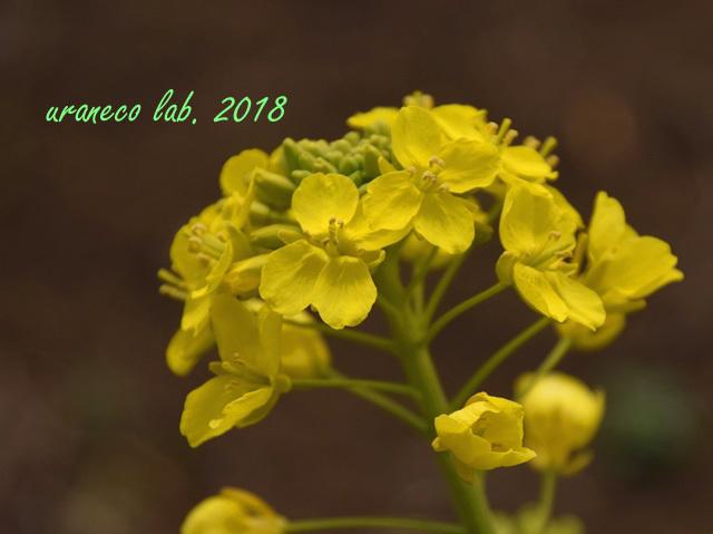 2月27日菜の花