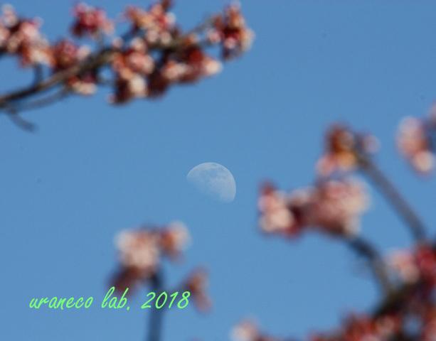2月24日寒桜6
