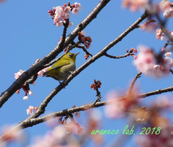 2月24日寒桜5