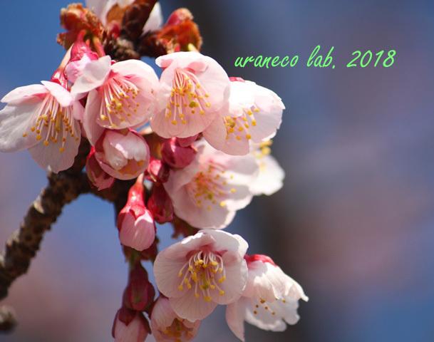 2月24日寒桜3