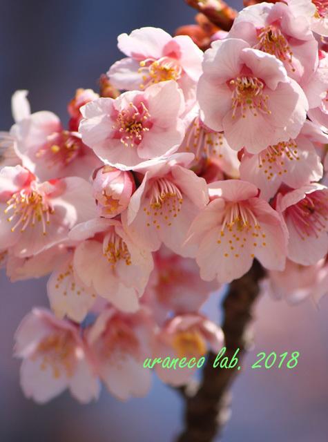 2月24日寒桜4