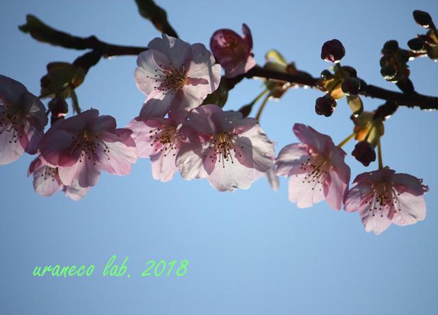 2月24日寒桜2