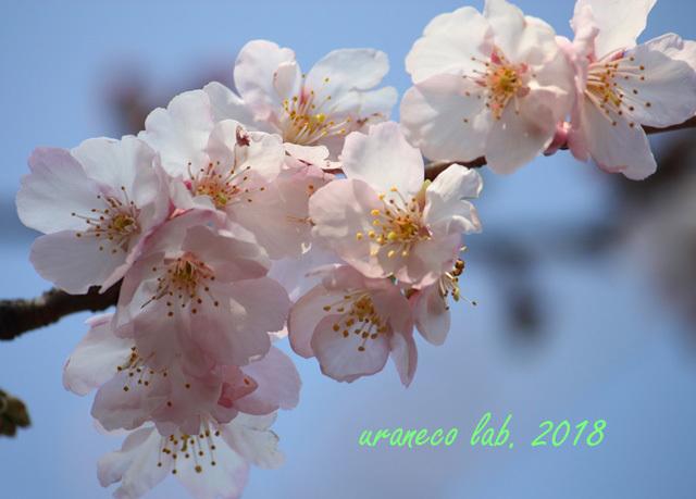 2月24日寒桜