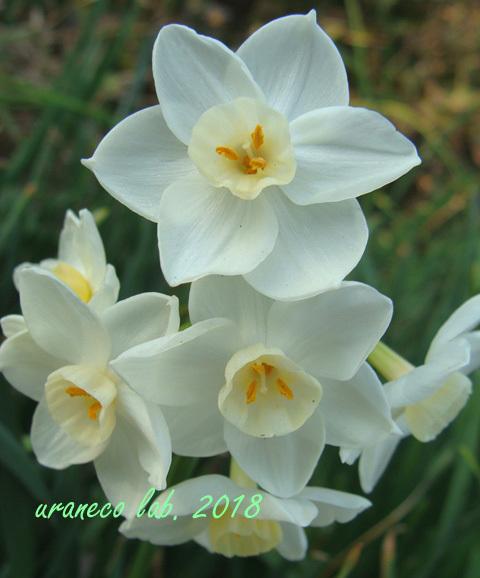 3月6日白水仙