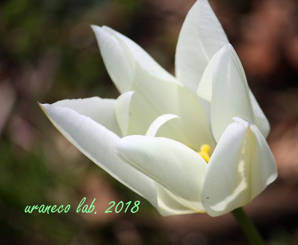 3月6日白いチューリップ