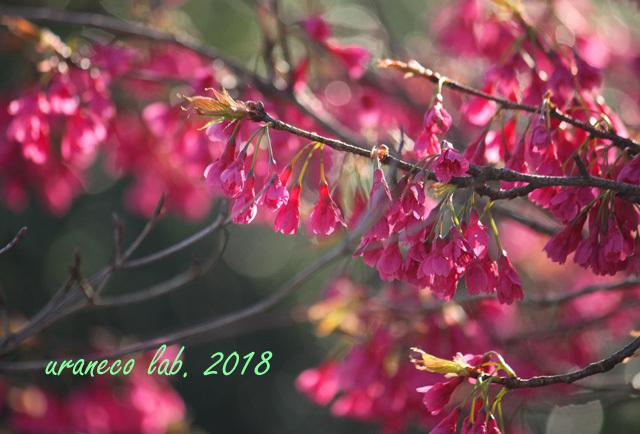 3月6日緋寒桜