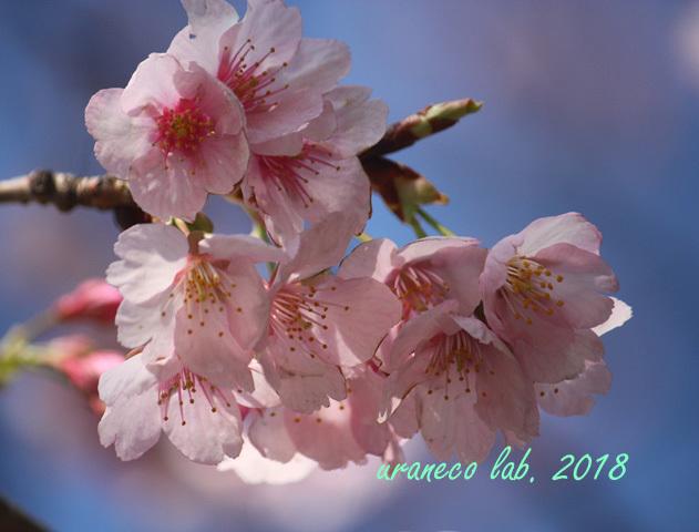 3月6日寒桜4