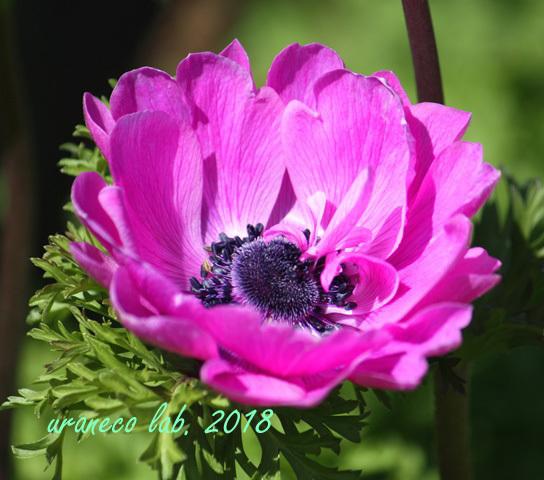 3月6日アネモネ八重ピンク