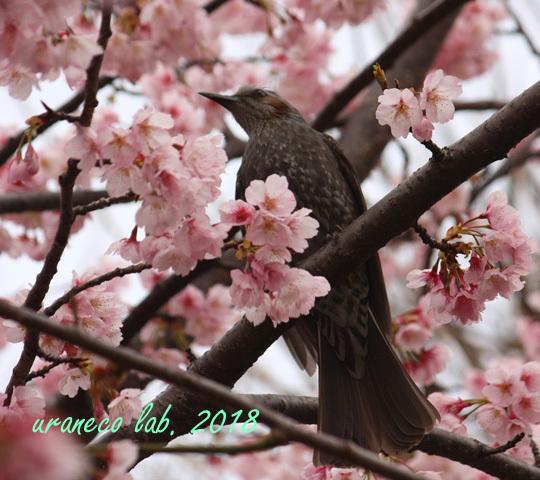 3月6日ヒヨ8