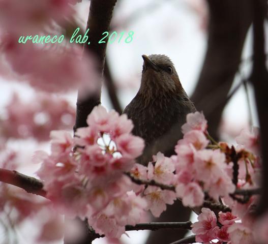 3月6日ヒヨ3