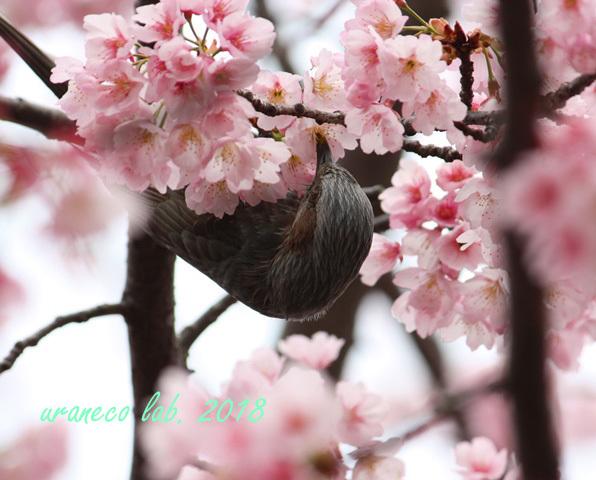 3月6日ヒヨ5