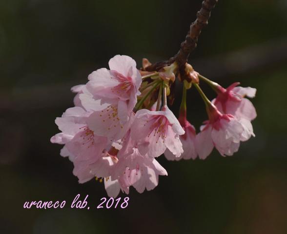 3月15日大寒桜2