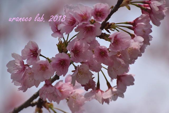 3月15日大寒桜
