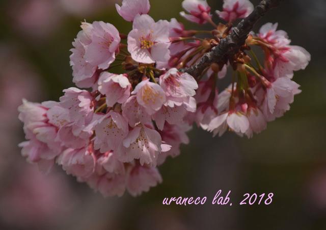 3月15日大寒桜8