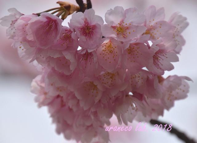 3月15日大寒桜7