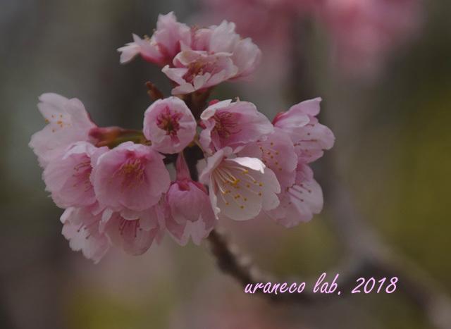 3月15日大寒桜6
