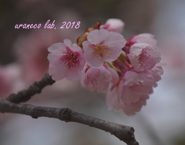 3月15日大寒桜5
