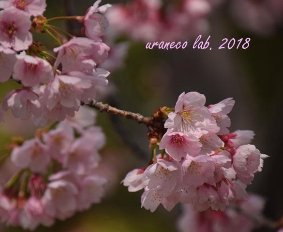 3月15日大寒桜4