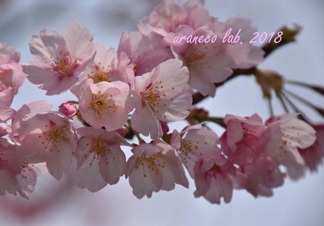 3月15日大寒桜3