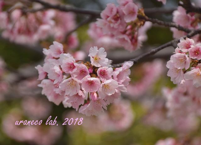 3月15日大寒桜9