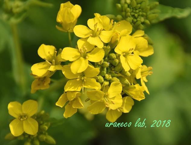 3月16日菜の花2