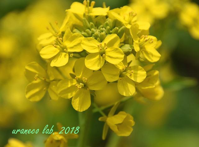 3月16日菜の花