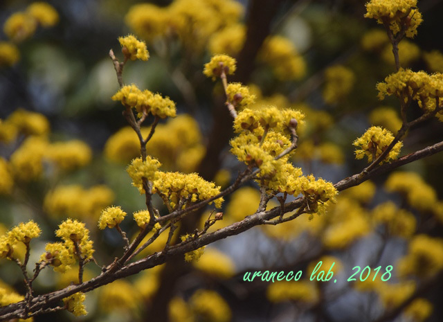 3月16日山茱萸