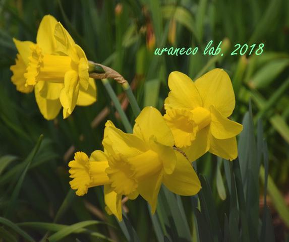 3月16日水仙3