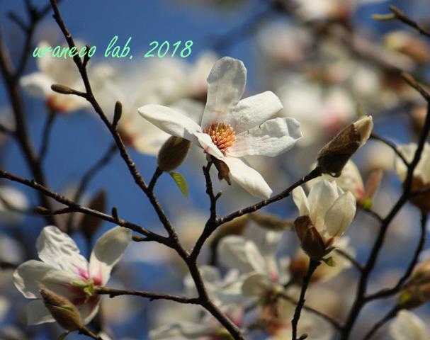 3月19日辛夷