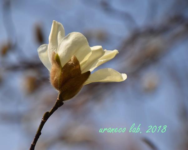3月19日白木蓮