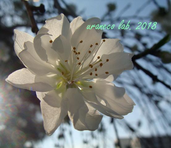 3月19日花桃3