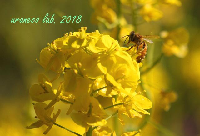 3月19日菜の花