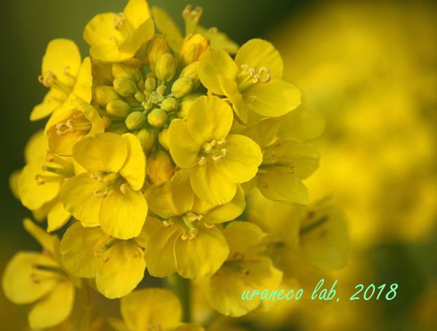 3月19日菜の花3