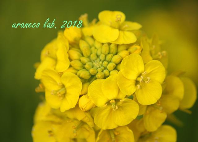 3月19日菜の花4