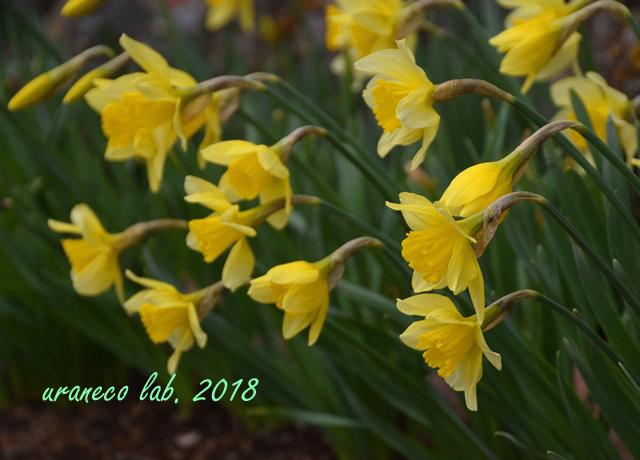3月19日水仙黄色